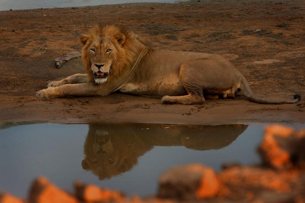 Dyrenes konge